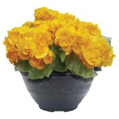 Meyers Flowers - Begonia - Table Top - 10'' - Assorted