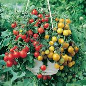 Cherry Tomatoes Hanging Basket, 12