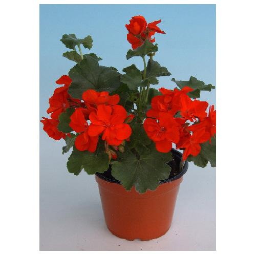 Meyers Flowers - Geranium Seed - 4-in - Assorted