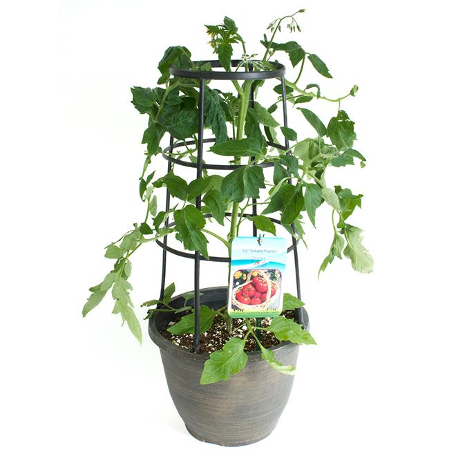 Plant de tomate ou poivron avec support, 12 po, assorti
