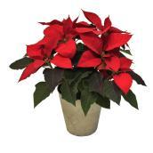 Poinsettia 6,5'', pot en céramique or ou argent, assorti