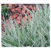 Assorted Ornamental Grass - 1-Gallon Container