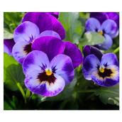 Meyers Flowers - Assorted Pansy