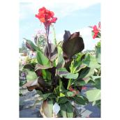 Lys Canna, Meyers Flowers, cannova, 2 gallons, assorti