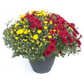 Assorted Mum - 12'' Pot