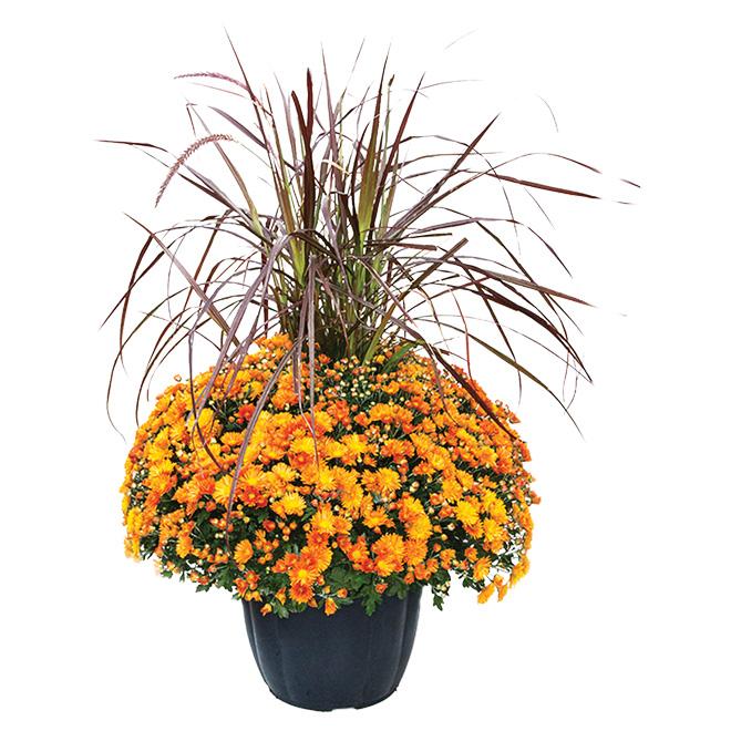 Mum and Grass Fall Arrangement - 13-in Pot
