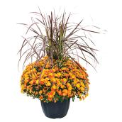 Mum and Grass Fall Arrangement - 13-in Pot