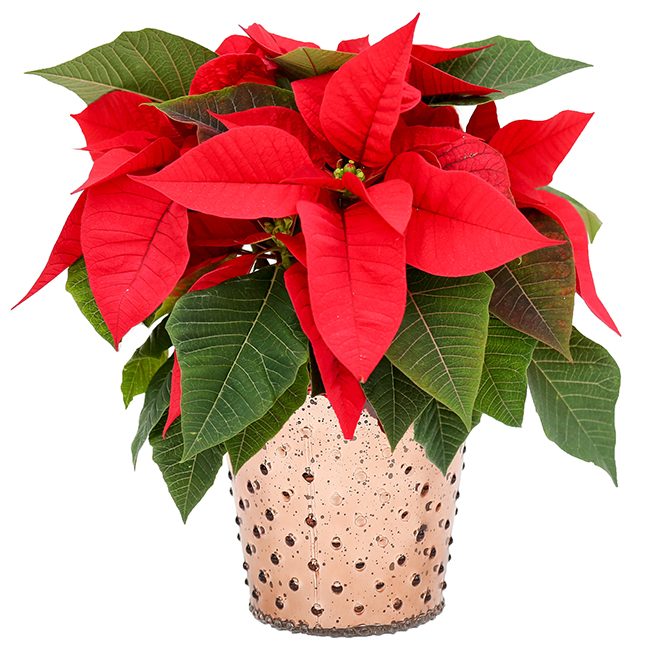 Meyers Flowers Assorted Poinsettia - 5-in Glass Decorative Pot