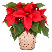Poinsettia, pot en verre de 5''