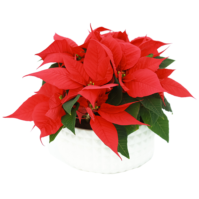 Meyers Flowers Assorted Poinsettia - 9-in Ceramic Pot