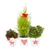 Plantes nordiques assorties Meyers Flowers, pot décoratif de 5 po