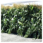Decorative Cornstalks - 8' - Pack of 8