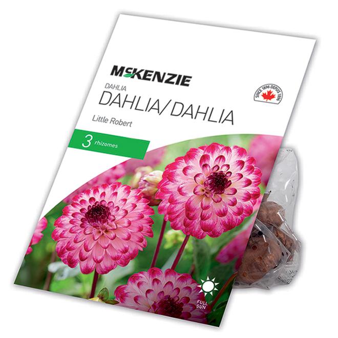 Dahlia McKensie Little Robert, 3 rhizomes, violet et blanc