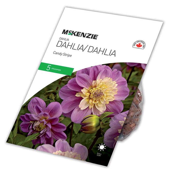 Dahlia Great Take Off, McKensie, 5 rhizomes, mélange