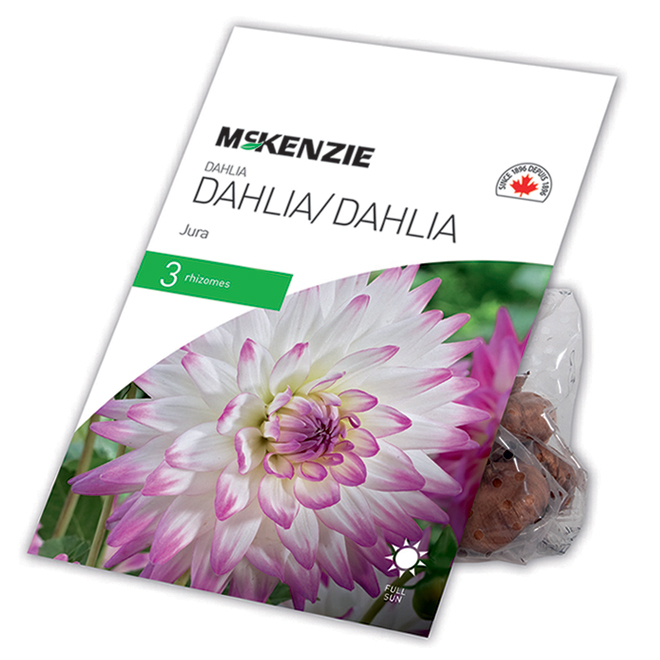 McKenzie Dahlia - Jura - 3 Rhizomes - Pink and white