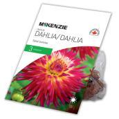 Dahlia Great Tahiti Sunrise, McKensie, 3 rhizomes, rose/blanc