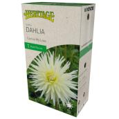McKenzie My Love Dahlia - 1 Root - White