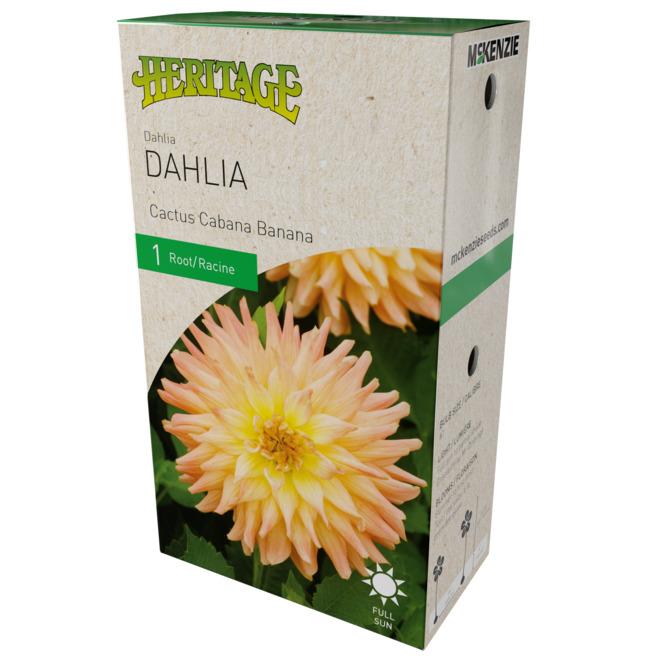 McKenzie Cabana Banana Cactus Dahlia - 1 Root - Yellow/Pink