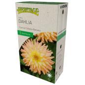 Dahlia Cactus Cabana Banana McKenzie, 1 racine, jaune-rose