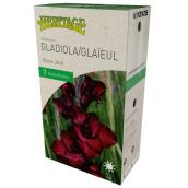 McKenzie Black Jack Gladiolus - 7 Bulbs 12-14 cm - Black