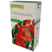 McKenzie Fire Red Gladiolus - 7 Bulbs - 12-14 cm - Red