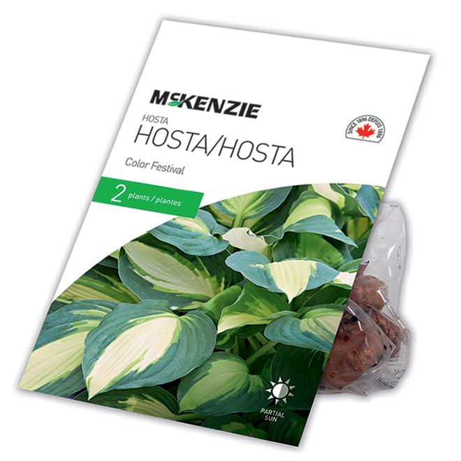 McKensie Colour Festival Hosta - 2 Plants