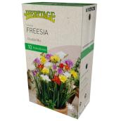 McKenzie Double Freesia - 10 Bulbs - 5 cm - Variety
