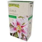McKensie Mona Lisa Lily - 2 Bulbs - 14-16 cm - Rose and White