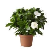 Gardenia, Entreprises Marsolais, 6'', blanc
