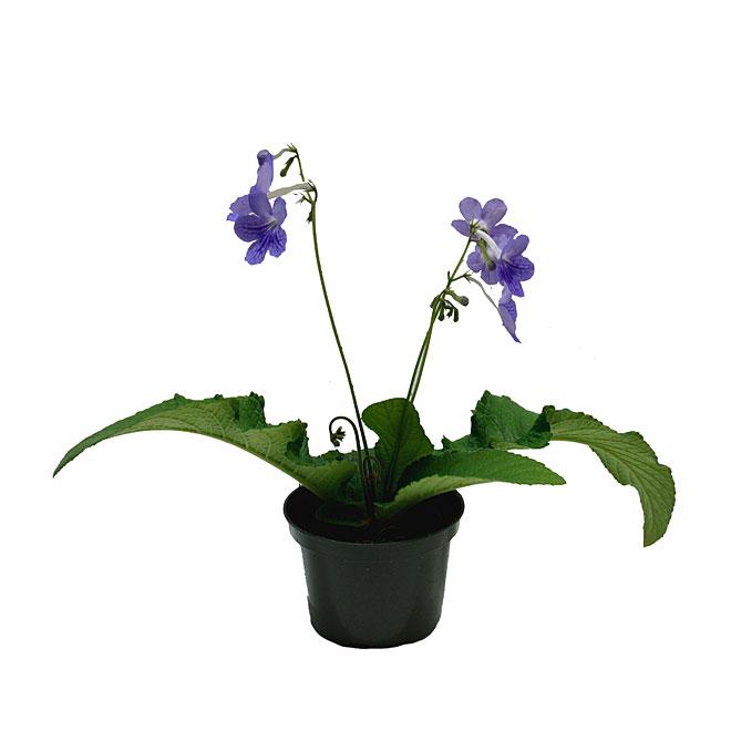 Entreprises Marsolais - Streptocarpus - 5'' - Assorted