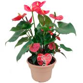 "Anthurium, 8"", assorti"