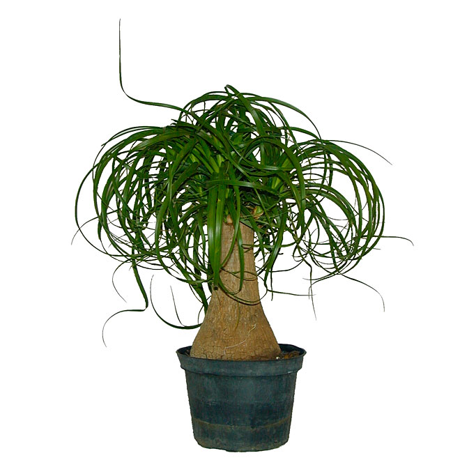 """Beaucarnea Ponytail Palm - 6"""" Plant"""