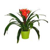 """Bromelia Guzmania, plant de 6"""", couleurs assorties"""