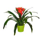 Bromelia Guzmania, plant de 6