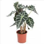 "Alocasia Polly - 6"" Planter - Green"