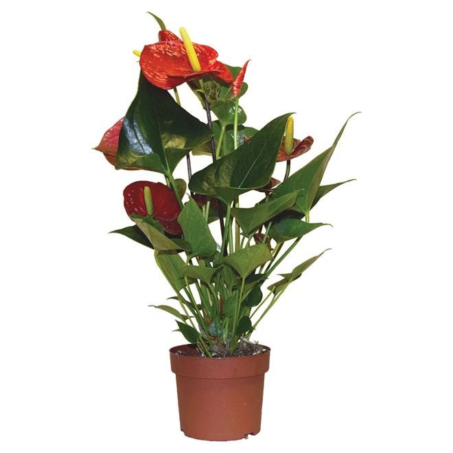 """Anthurium Flower Plant - 5"""" - Assorted Colours"""