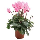 Entreprises Marsolais Assorted Cyclamen - 4.5-in Grower Pot
