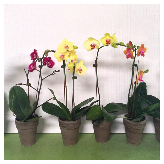 "Phalaenopsis - 4"" Clay Pot - Assorted Colours"