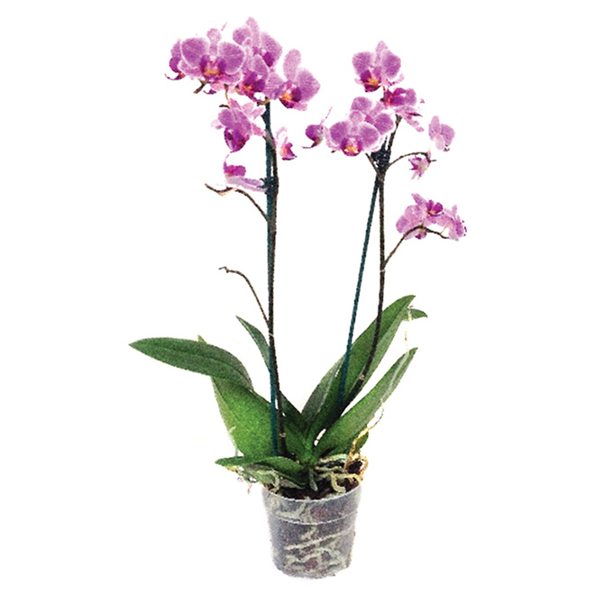 "Potted Phalaenopsis - 4"" - Assorted Colours"