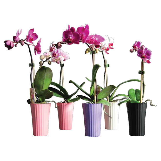 "Mini Phalaenopsis in 2"" Decorative Pot - Assorted Colours"