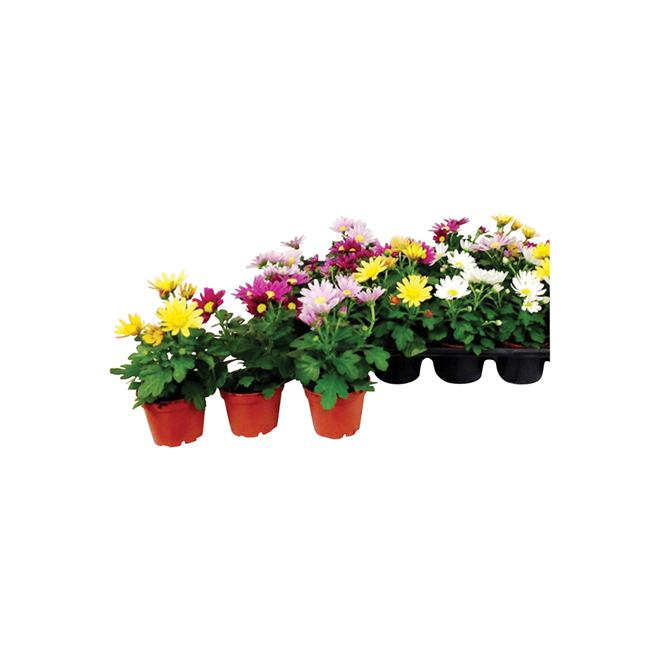 "Mini Chrysanthemum - 2"" - Various Colours"