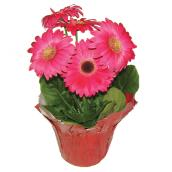 "Gerbera in Pot - 6"" - Assorted Colours"