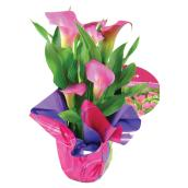"Assorted Calla Lyly - 6"" Pot"