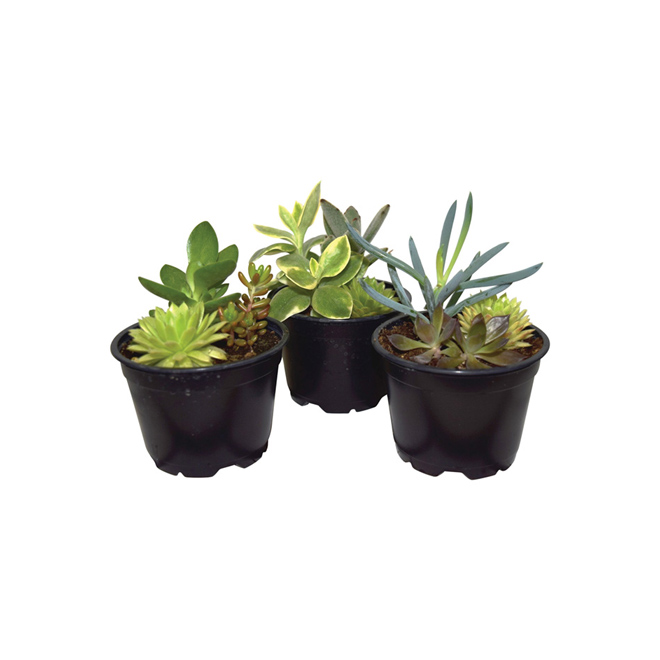 "Trio de succulentes, pot de 4"", couleurs assorties"