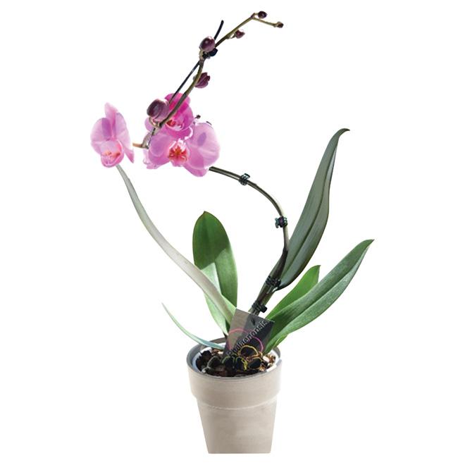 """Orchidée spirale, phalaenopsis, pot d'argile, 5"""""""