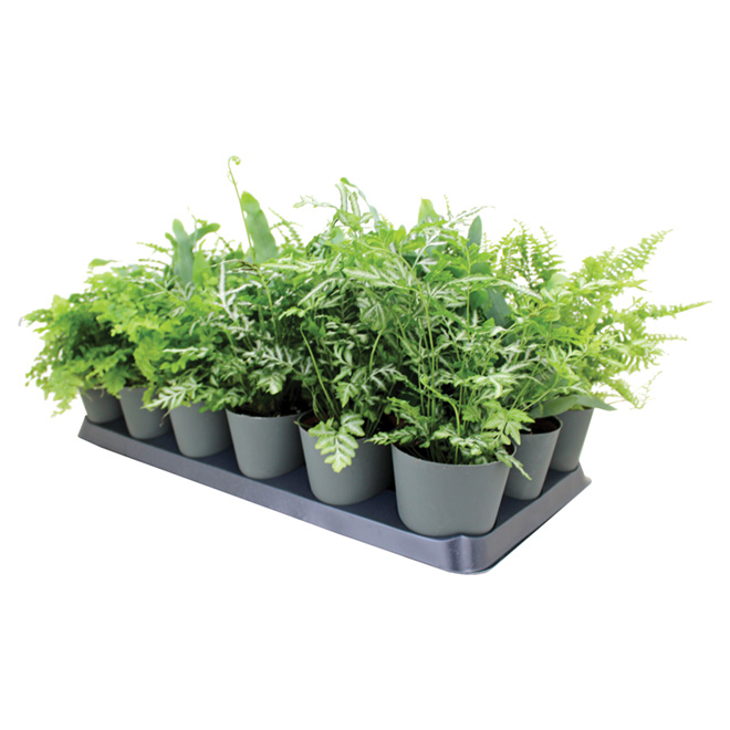 Assorted Fern - 4'' Pot