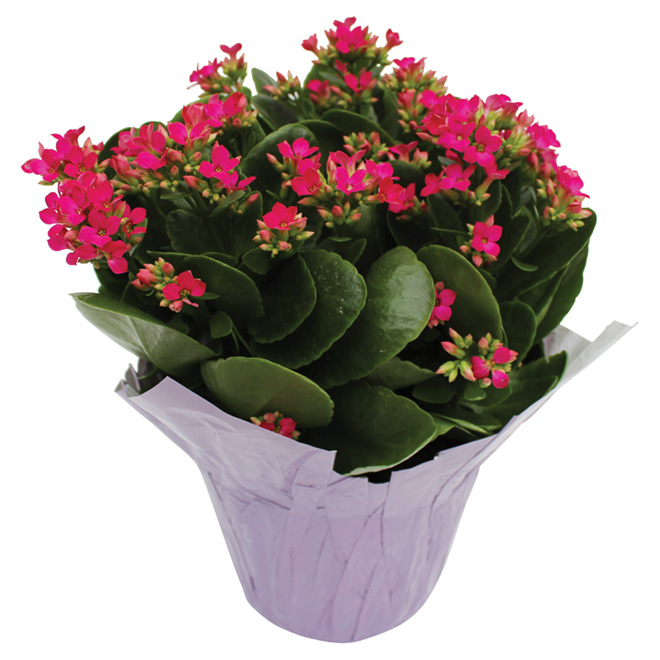 "Kalanchoe, pot de 6"", couleurs assorties"