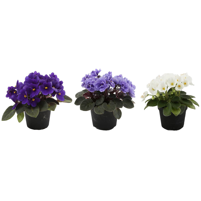 "Miniature African Violet - 2.5"" - Assorted Colours"