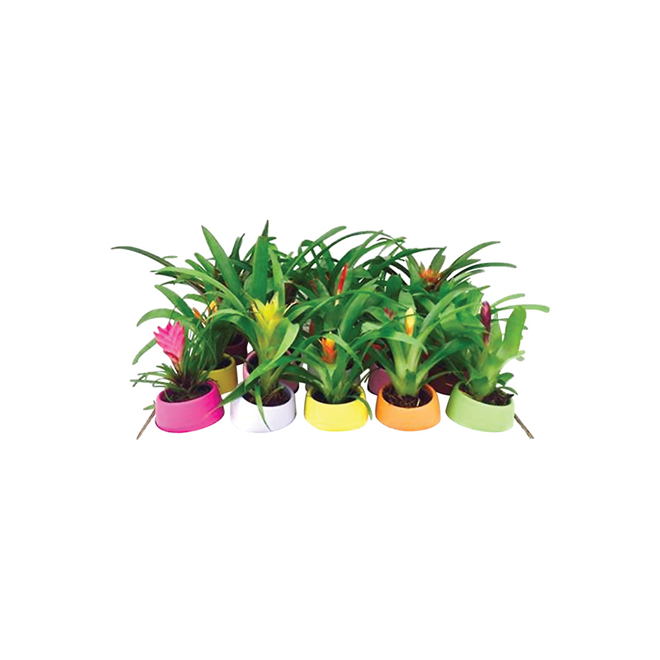 "Bromeliad Guzmania - 2.5"" Plant - Assorted Colors"