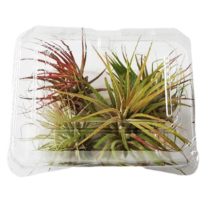 Tillandsias assortis, 4 plantes